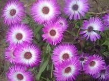 紫色白色 免版税库存照片