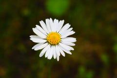 黄色白花自然植物 图库摄影
