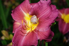 紫色百合和困蜗牛 免版税库存照片