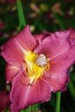 紫色百合和困蜗牛 库存图片