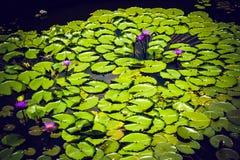 紫色百合在康提斯里兰卡植物园的池塘  免版税库存图片