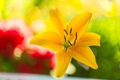 黄色百合属植物(拉特。百合属植物) 免版税库存照片