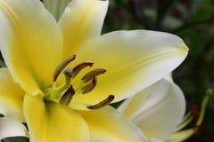 黄色百合属植物 图库摄影