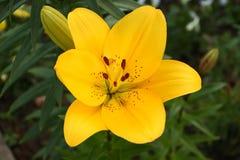 黄色百合-百合属植物 库存图片