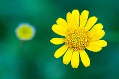 黄色百日菊属 免版税库存照片