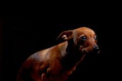 黑色的一点害怕的狗 免版税库存照片