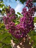 紫色的丁香 库存图片