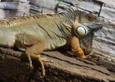 色的公绿色鬣鳞蜥 免版税库存图片