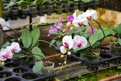 紫色的兰花 库存图片