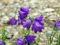 紫色的响铃 库存图片