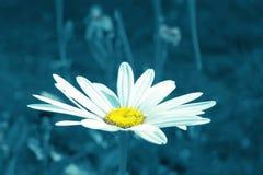 色的唯一雏菊在庭院里 库存图片