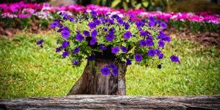 紫色的喇叭花 库存图片