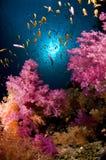 色的埃及鱼红色礁石学校海运 免版税库存照片