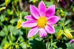 紫色的大丽花 免版税库存照片