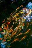 色的日本鲤鱼在黑暗的水中 库存图片