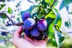 紫色的李子 免版税库存照片