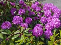 紫色的杜鹃花 免版税库存照片