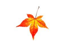 色的查出的叶子槭树 库存照片