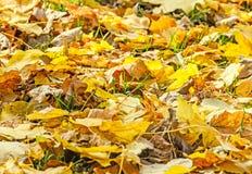 色的橙黄叶子,秋天时间在室外公园 图库摄影