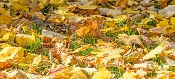 色的橙黄叶子,秋天时间在室外公园 库存照片