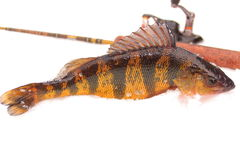 黄色的河鲈 免版税库存照片