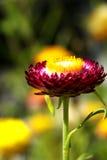 色的深紫色的唯一strawflower 免版税图库摄影