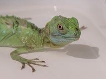 绿色的特写镜头视图饰了以羽毛蛇怪蛇怪plumifrons 免版税图库摄影