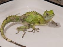 绿色的特写镜头视图饰了以羽毛蛇怪蛇怪plumifrons 免版税库存照片
