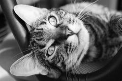 黑色的猫空白和 图库摄影
