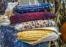 色的玉米的汇集 免版税库存图片