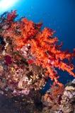 色的珊瑚红色礁石海运 库存照片