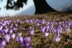紫色的番红花 免版税图库摄影