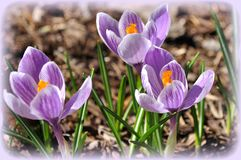 紫色的番红花 免版税库存照片