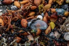 色的石头壳和海草在岸 库存照片