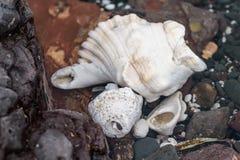 色的石头壳和海草在岸 免版税库存照片