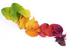 从绿色的秋叶到在白色背景的红色对角线 免版税库存照片