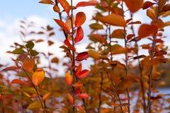 黄色的秋天和红色离开反对蓝天 免版税库存图片