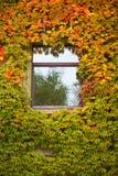 色的秋天常春藤长满的藤墙壁 免版税库存图片
