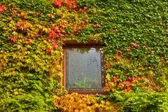 色的秋天常春藤长满的藤墙壁 免版税图库摄影