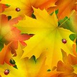 色的秋天槭树的无缝的样式离开和瓢虫 库存图片