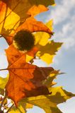 色的秋天留下槭树 库存照片