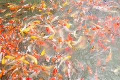 色的胡扯鱼顶视图池塘在公园 库存照片
