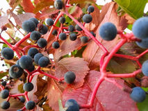 色的莓果 免版税库存照片