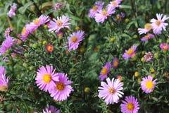 紫色的菊花 免版税库存照片