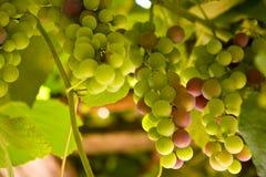 色的葡萄 免版税库存照片