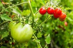 绿色的蕃茄红色和 免版税库存图片