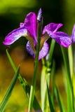 紫色的虹膜选拔 库存图片