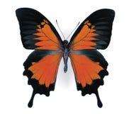 色的蝴蝶 图库摄影