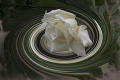 色的螺旋摘要与白色玫瑰的 库存照片