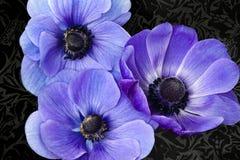 紫色的银莲花属 免版税库存图片